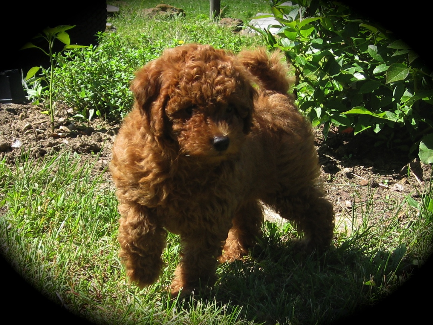 Miniature Poodles for sale in Wisconsin