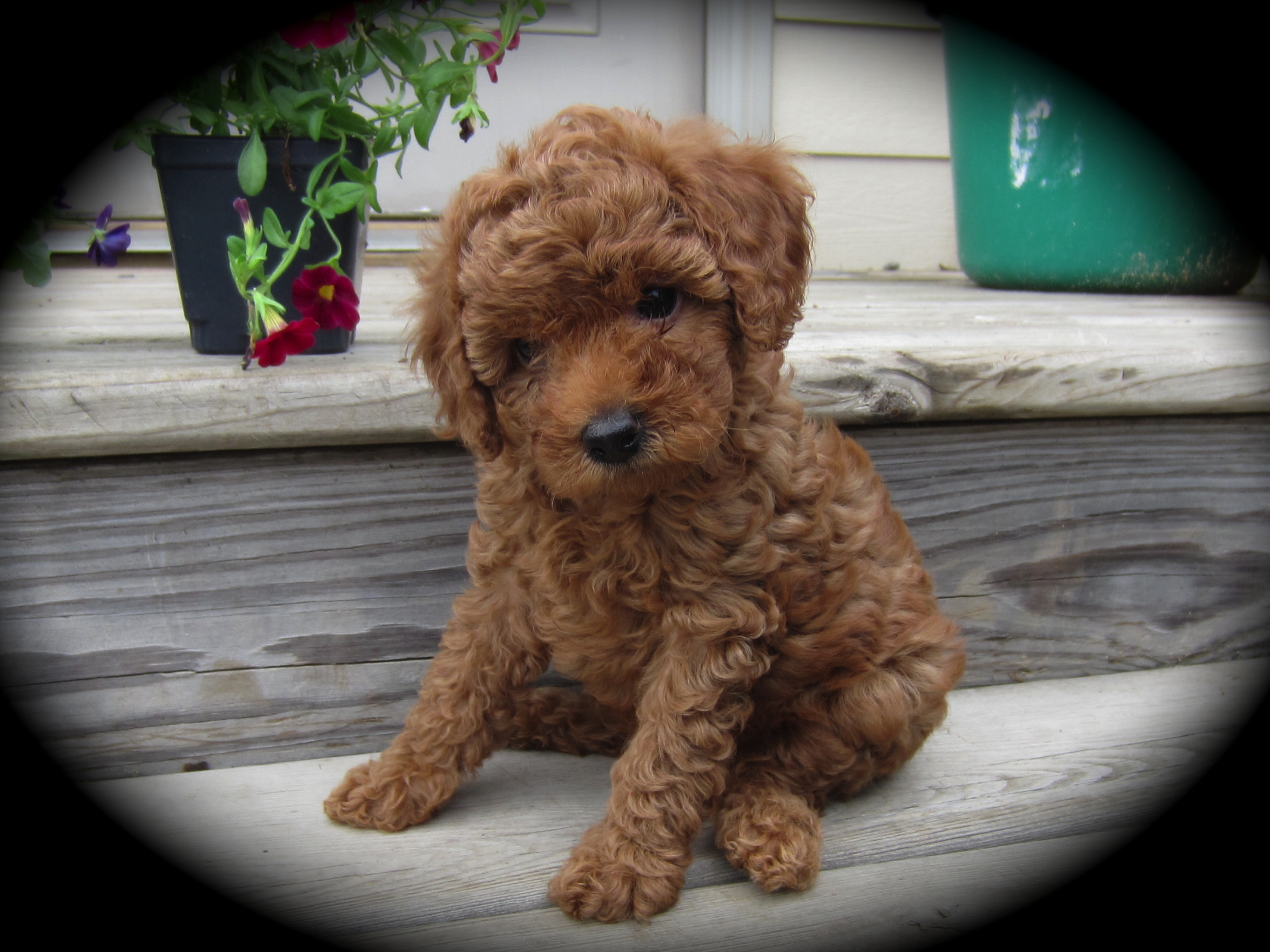 toy poodles for adoption in wisconsin